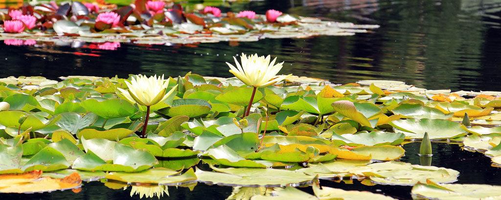 【歌詞】英詩に曲をつけたオリジナル「Water-lilies」